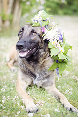 Katja (AChristiansdotter) Tags: flowers summer dog flower cute happy 50mm nikon midsummer sweden malinois krans midsommar 5014 åmål d610 hapinness