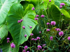 green and pink (Just Back) Tags: flowers plants sc garden columbia carolina growing blade araceae botany ornamental biology blooming gomphrena riverbanks physiology cultivated photosynthesis cellulose colocasia capitulum amaranthaceae phytology vascularized