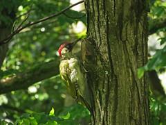European green woodpecker (aniko e) Tags: woodpecker diversity picusviridis picus picidae europeangreenwoodpecker küllő zöldküllő harkályféle