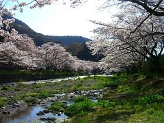 Cherry Blossom Street at Osawa Hot Spring (izunavi) Tags: japan   sakura cherryblossoms shizuoka izu    matsuzaki  shizuokaprefecture    matsuzakitown  cherryblossomstreet izuphoto osawahotspring