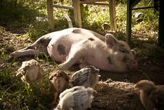 Bestiame in relax (Malacapa) Tags: sun pigs chicks pulcini maialino malacapa sanrenato