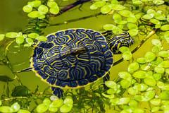 Peninsula Cooter (Pseudemys peninsularis) (John P Clare) Tags: swimming pond turtle algae cooter duckweed terrapin hatchling waterturtle peninsulacooter pseudemyspeninsularis pseudemysfloridanapeninsularis