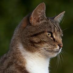 The Hunter (hartlandmartin) Tags: cat nikon feline carnivore d300 feliscatus thehunter mackeraltabby 70300vr