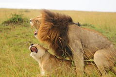 The earth moved ( ? ) (john a d willis) Tags: kenya lions lioness roaring copulating massaimara earthmove