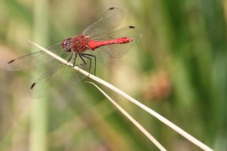 bloedrode heidelibel 3