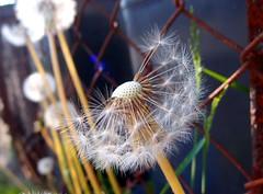 Dandelion (mdarowska) Tags: flower nature oslo norway flickr dandelion bjerke visitnorway visitoslo