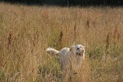 buster (dave p brecks) Tags: goldenretriever goldie madeit