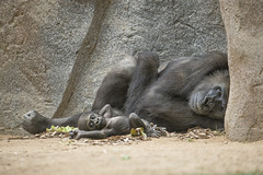 Relaxing with Mom (San Diego Zoo Global) Tags: cute forest gorilla joanne primate imani gorillas lowland babyanimal babygorilla sandiegozoosafaripark