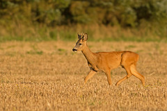 Young Roe Deer buck (Wouter's Wildlife Photography) Tags: nature mammal wildlife young explore bok buck roedeer billund reebok rådyr ree capreoluscapreolus pattedyr