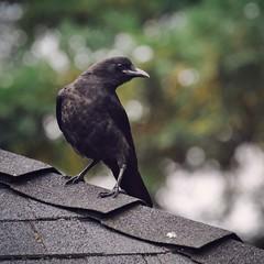 Young one (liquidnight) Tags: birds animals oregon portland backyard nikon wildlife birding urbanwildlife pdx laurelhurst crows juvenile birdwatching corvusbrachyrhynchos americancrow d90 corvids