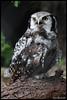 Northern hawk-owl (Surnia ulula) (Xavi BF) Tags: london zoo hawk owl xavier northern londonzoo búho hawkowl surnia ulula gavilán strigiformes lechuza northernhawkowl surniaulula strigidae bayod mussol zsl cárabo farré sperbereule canoneos60d gavilana lechuzagavilana tamron70300vcusd cárabogavilán xavierbayod xavierbayodfarré esparverenc mussolesparverenc búhogavilán