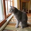 Millie 29 June 2014 1341Ri sq (edgarandron - Busy!) Tags: cats cute cat feline tabby kitty kitties tabbies millie graytabby cc100 bestofcats catmoments hellopussycat vg~catsgallery