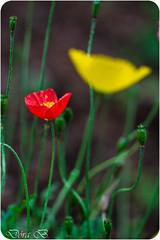 R (Dra B.) Tags: life wild flower color nature garden iceland pretty small akureyri blm dorabirgis