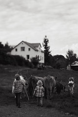 Herding the cows (Dalla*) Tags: people white black boys landscape iceland cows farm north herd eyjafjrur herding kristnes wwwdallais