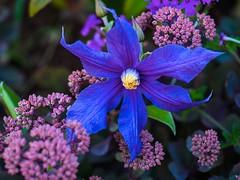 clematis scrambles through sedum (wnkremer1) Tags: flowers blue summer garden vines purple clematis purpleflower purpleflowers blueflower blueflowers