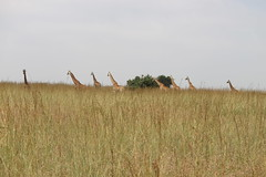 IMG_4261 (Jarod Burns) Tags: africa nationalpark day cloudy kenya wildlife nairobi safari giraffe nairobinationalpark