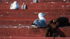 Gaivotas na batea IV (Rafa Lorenzo) Tags: gaivotas ríasbaixas galicia gaviota batea nerga ríadevigo