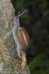 Snail & Cicada IMG_0362 copy (Kurt (orionmystery.blogspot.com)) Tags: race cicada ant snail racing emergence emerging larva