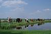 Hollands druk (koeien_beeldbank) Tags: weide nederland zuidholland melkkoeien