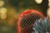Succulent Last Light (Bob Palin) Tags: red cactus usa 1025fav 510fav utah bokeh 100v10f potofgold 100vistas instantfave canonef24105mmf4lisusm hugyourcacti flowerpicturesnolimits ashotadayorso canoneos60d orig:file=2014091121207adjust2048