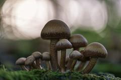 Fungus family (PixPep) Tags: macro nature fungus beautifulnature beautifulsunset macroscape macrolandscape beautifulcolours beautifulbokeh simplysuperbhalloffame