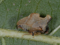Treehopper, Entylia carinata (7) (Herman Giethoorn) Tags: insects bugs hemiptera treehoppers