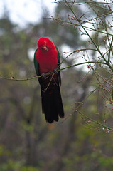 Another king (Occasionally Focused) Tags: red bird pentax takumar m42 manualfocus kingparrot manuallens manualexposure k30 lightzone unmetered justpentax smctakumar135135 singleinseptember2014