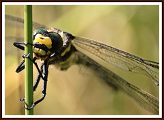 Golden-ringed-dragonfly. (stu.bloggs..Dont do Sundays) Tags: green yellow insect golden colours dragonflies dragonfly hunting insects perched predator ringed formidable goldenringeddragonfly largestspeciesbritain
