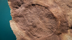 Dickinsonia (Theen ... busy) Tags: ocean red brown museum ancient iron cyan samsung adelaide ago creature southaustralia fossils seas seabed softbodied spanned theen dickinsonia 555millionyears ediacaranocean