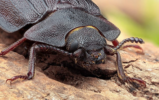 Bark-gnawing beetle