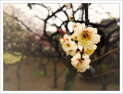 Cherry Blossoms (paulmcdee) Tags: park city travel flowers trees holiday macro tourism japan gardens canon cherry tokyo march shinjuku asia blossom tourist powershot 2014 5photosaday topqualityimagesonly