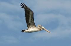 Juvie Brown Pelican in flight (linda long) Tags: nature birds wildlife pelican birdsinflight brownpelican avian seabirds juvenilebird oregonbirds birdsofnorthamerica