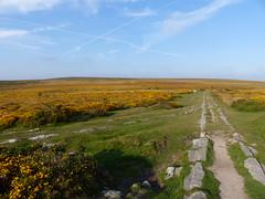 P1010355 (jrcollman) Tags: plants places devon dartmoor ulexgallii haytortohoundtor graniterailwaytrack