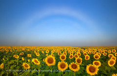 A Fog Bow over the Colorado Sunflower Field (RondaKimbrow) Tags: morning weather fog landscape colorado colorful atmosphere sunflower fogbow sunflowerfield cheerfu feelingblessed rondakimbrowphotography