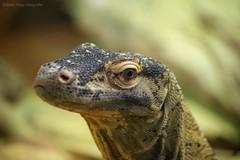 Lizzzard (Bieke Maes Fotografie) Tags: animal animals zoo reptile wildlife leguaan lizard dieren dier dierentuin reptiel biekemaesfotografie