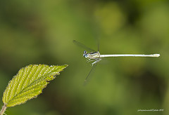 Platycnemis pennipes in fly (fabrizio daminelli ) Tags: macro nature canon insect fly natura volo tamron damselfly insetto odonata zygoptera whiteleggeddamselfly damigella damselflie platycnemispennipes platycnemididae bluefeatherleg fabriziodaminelli pallas1771