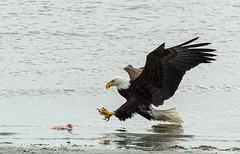 ND5_5522 On Target (Wayne Duke 76) Tags: maturebaldeagle abouttograb talons raptor