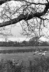 Rural Scene Lancashire Garstang (Man with Red Eyes) Tags: nikonf2 f2 slr mechanicalcamera vintage trix kodak 35mm film pyrocathd 11100 15mins semistand presoak analog blackwhite monochrome silverhalide sunnysixteen lancashire northwest lenstest nikkorh1885mm ai sheep windpower windmill turbine farm field spring landscape