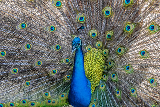 Pavo cristatus (Indian peafowl / Pavo real común) EXPLORED 03/03/2017