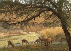 India (Ranthambhore National Park) Female deers1 (ustung) Tags: india ranthambhore nationalpark deer female grazing nature creek nikon