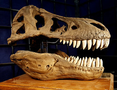 f_dinobones_6 (ricksoloway) Tags: endoftheworld arizonamojo tucsongemandmineralshow tgms macabre science specimens tucsonarizona bones skulls cameraphone samsungs6