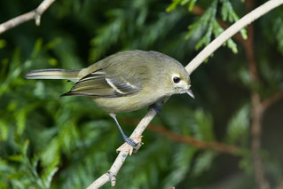 Hutton's Vireo with moth, Bothell, WA
