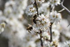 Abejas en Prunus spinosa (esta_ahi) Tags: viladellops rosaceae flor floración flores flora abella abeja apis mellifera apismellifera apidae hymenoptera insectos fauna penedès barcelona spain españa испания prunus spinosa prunusspinosa aranyoner endrino