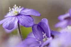Blue anemone but it is not blue she said :) (Mona_Oslo) Tags: wildflower blue purple flower spring blueanemone forest woods macro closeup monajohansson