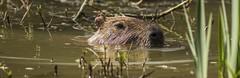 Capybara enjoying the water-3 (tiger3663) Tags: capybara water enjoying yorkshire wildlife park
