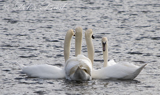Swans Comittee Meeting