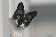 Allo (Luis-Gaspar) Tags: animal cat gato feline felino face portrait retrato portugal oeiras nikon d60 55300 f56 1800 iso400