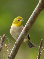 _DSC8576 (aeschylus18917) Tags: danielruyle aeschylus18917 danruyle druyle ダニエルルール japan 日本 kagoshima 鹿児島県 amamioshima 奄美大島 uushima kyushu 九州県 bird 鳥