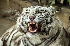 Un lindo gatito..... (Martika64) Tags: animal tiger feline nature carnivorous naturephotography white color colorimage tigre felino carnívoro blanco tigreblanco whitetiger pantheratigris