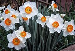 March 20, 2017 - Professor Einstein Daffodils explode in Thornton. (Michelle Jones)